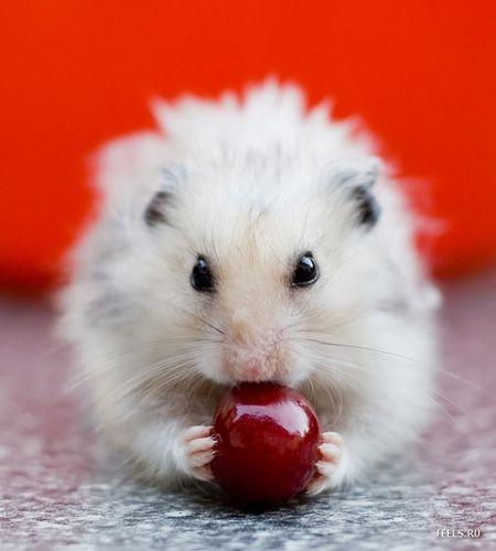 мифы о домашних хомячках