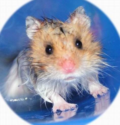 Следите во время купания, чтобы вода не попала в ушки и вытирайте шерстку хомяка досуха